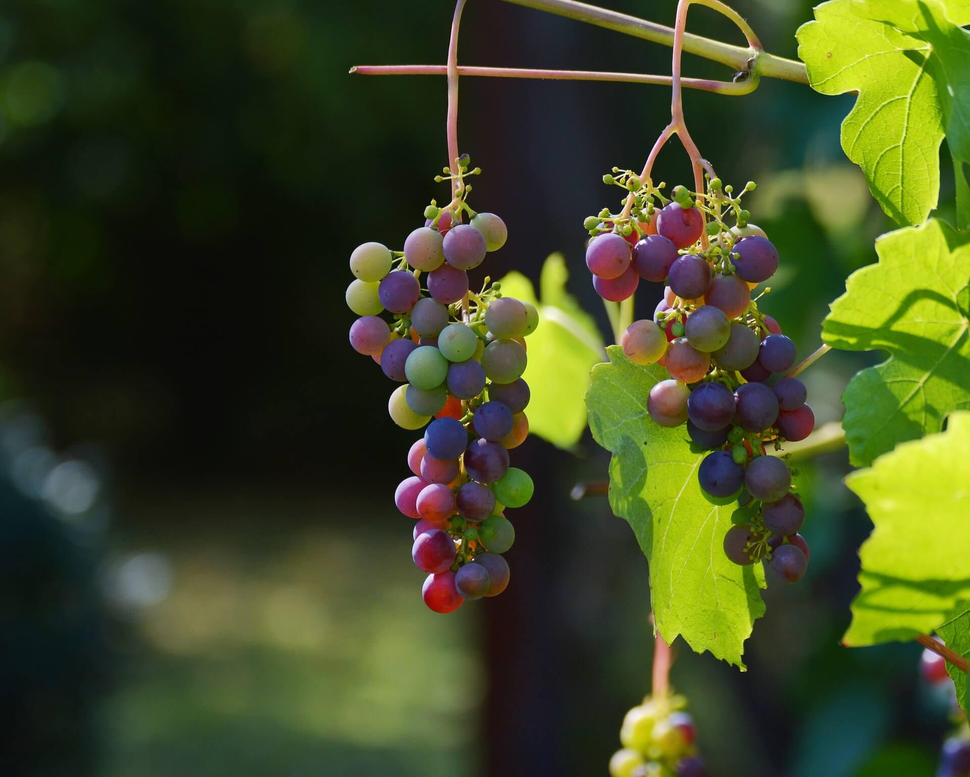 Grapes 1659118 1920